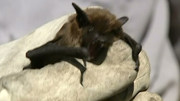 CTV Ottawa: Rabies-infected bat