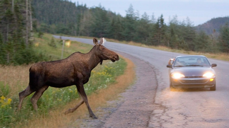 A moose runs in front of a car as it crosses the road in Gros Morne National Park in N.L., Tuesday, August 14, 2007. (Jonathan Hayward / THE CANADIAN PRESS)