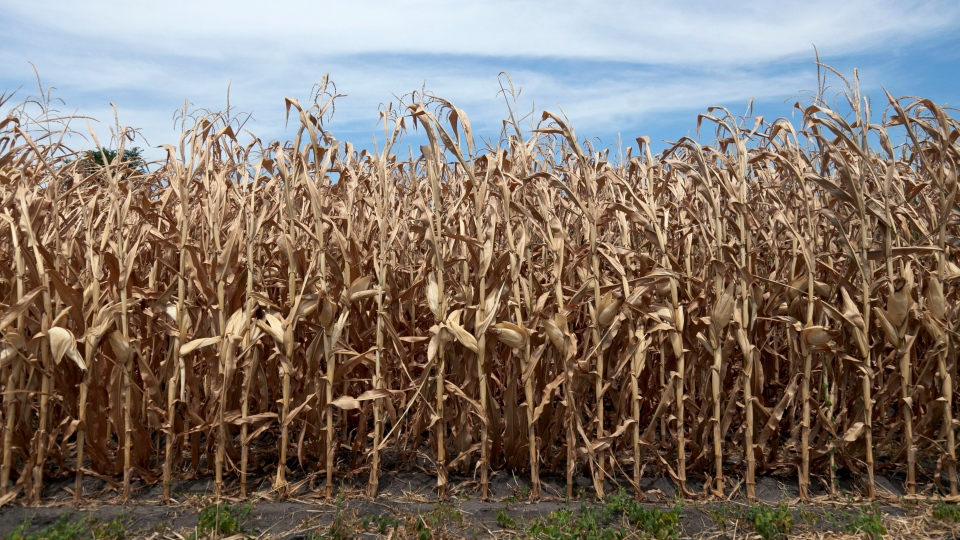 Dried corn plants in Yutan, Nebraska, July 31, 2012. (AP / Nati Harnik)