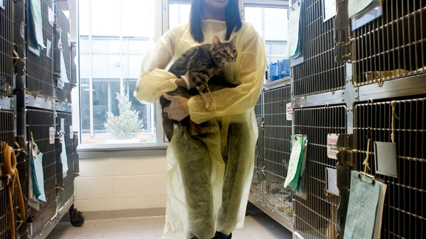 A volunteer removes a cat from its cage inside the Toronto Humane Society building on Friday November 27, 2009. (Chris Young / THE CANADIAN PRESS)