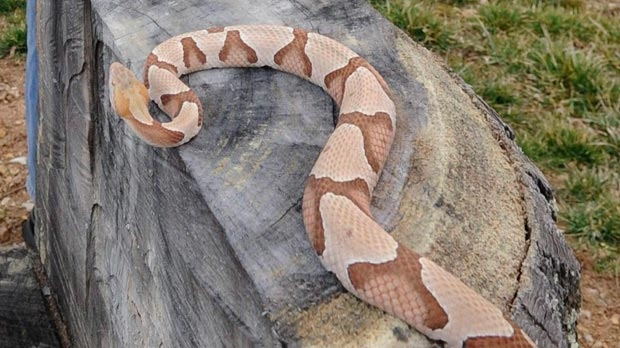 A four-year-old, three-and-a-half foot copperhead snake is seen at the home of Chuck Hurd near Gate City, Va. on Feb. 23, 2011.