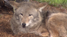 A coyote snatched away a Gibsons store owner's dog on Friday. Aug 11, 2012. (CTV)