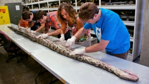 In this Aug. 10, 2012 photo provided by the University of Florida, Florida Museum of Natural History researchers, from left, Rebecca Reichart, Leroy Nunez, Nicholas Coutu, Claudia Grant and Kenneth Krysko examine the internal anatomy of the largest Burmese python found in Florida to date, on the University of Florida campus. (AP / University of Florida, Kristen Grace)
