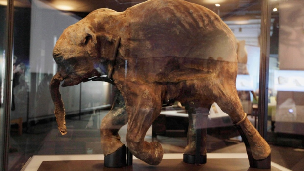"The most complete woolly mammoth specimen ever found is seen on display at the new exhibit called ""Mammoths and Mastodons: Titans of the Ice Age"" at The Field Museum in Chicago on Tuesday, March 2, 2010.  (AP / M. Spencer Green)"