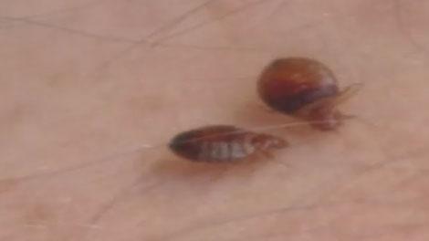 bedbugs ottawa
