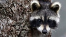 A raccoon is seen in this file photo. (CTV)