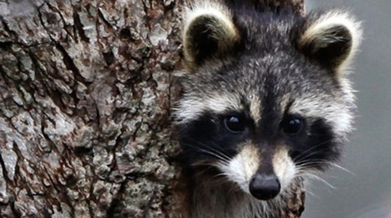 A raccoon is seen in this file photo.