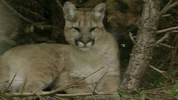 Cougar Attack Vancouver Island
