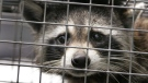 A raccoon in a trap after being taken from a Port Orange, Fl., home, Tuesday, May 1, 2012. (AP / Daytona Beach News-Journal, David Tucker)