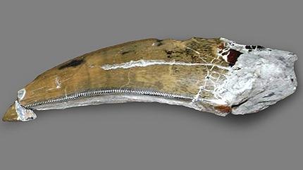 Albertosaurus tooth found near the Quesnell Bridge in Edmonton.  Photo courtesy Royal Tyrrell Museum.