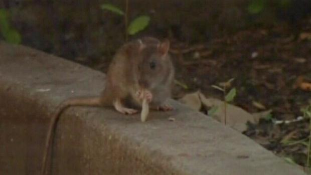 Alberta rat