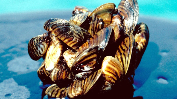 This undated U.S. Department of Agriculture photo shows zebra mussels taken from Lake Erie.