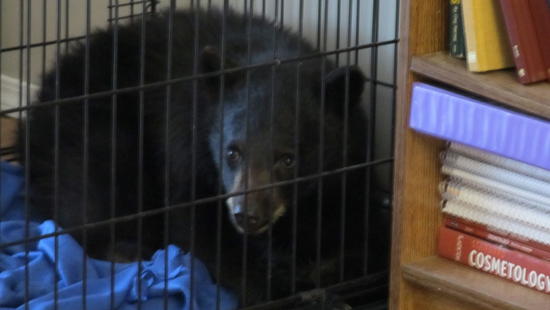 In spring 2012, Ryan Neal of Terrace, B.C. put a sickly bear cub inside a dog crate while he tried to find people who could save the animal.