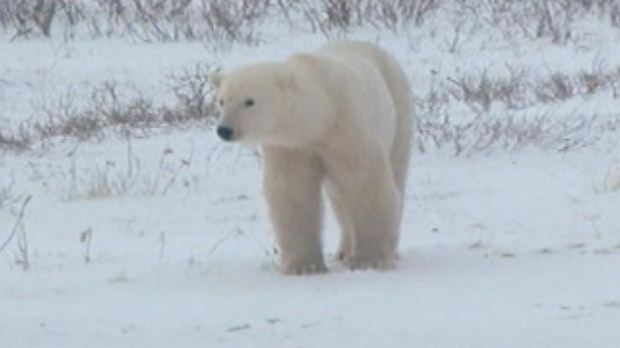 A file image shows a polar bear in Manitoba.