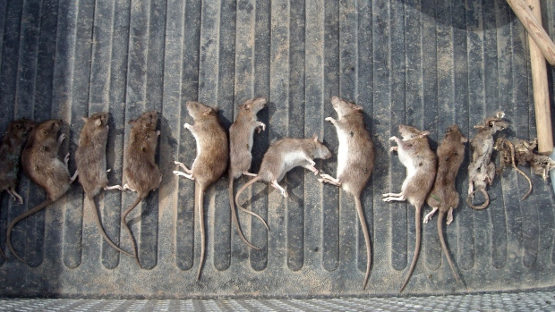 Some of the 53 dead rats recovered from traps near Medicine Hat's landfill are shown in the back of a truck on Thursday, Aug. 16, 2012. (City of Medicine Hat)
