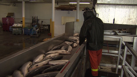 Sockeye salmon are processed at Albion Seafood. Aug. 26, 2010. (CTV)