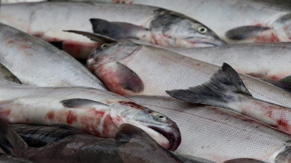 Sockeye salmon sit on a commercial fishing boat as they're unloaded at Steveston Harbour during a 32-hour fishery window in Richmond, B.C., on Thursday August 26, 2010. (THE CANADIAN PRESS/Darryl Dyck)