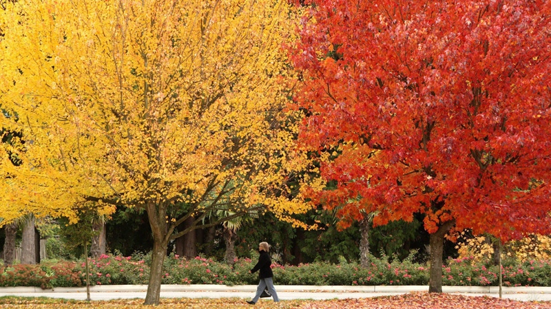 A pedestrian passes brightly coloured fall foliage in Delta, B.C., on Wednesday, Oct2 29, 2008. (Darryl Dyck / THE CANADIAN PRESS)