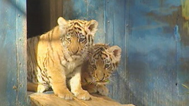 The two Amur tiger cubs born last summer in Winnipeg are shown in a file image from October 2011. One of the tigers, Reka, died on Aug. 27, 2012.