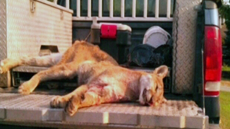 west kill cougar women After the cougar attacked brooks, a  while they are sometimes known to kill  but more attacks have been reported in the us west and canada over the.