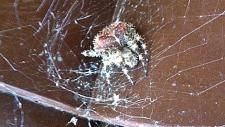 Jewel or cat face spider