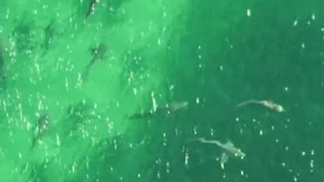 Hundreds of sharks have gathered off the coast of Queensland, Australia.