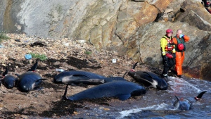 Members of the emergency services stand near dead pilot whales after they beached near Pittenweem off the coast of Fife, Scotland, Sunday Sept. 2, 2012. A wildlife rescue organization says 13 whales have died following a mass stranding off the Scottish coast. (AP/PA, Andrew Milligan)