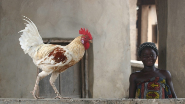 A chicken struts outside a home in Todo village, Nigeria on April 23, 2006.
