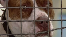 CTV BC: Dangerous dog breed ban