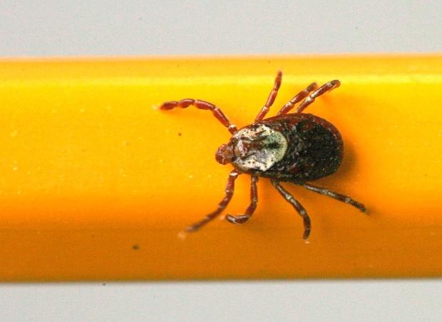 Summer viruses Lyme disease ticks