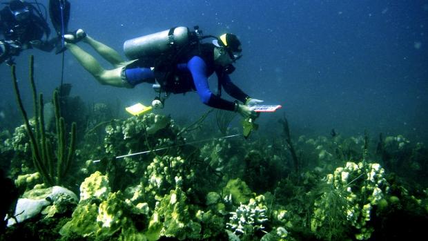 Caribbean coral
