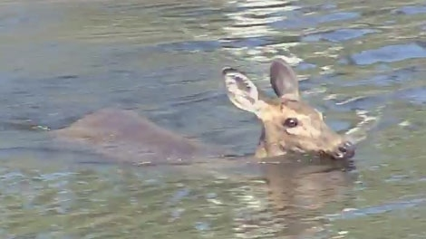 This deer was seen swimming in the Rideau Canal on September 10, 2010.