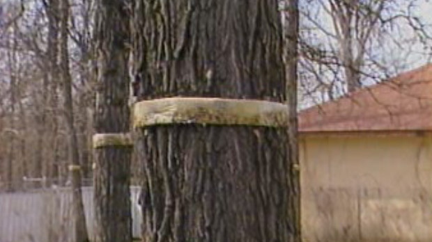 Elm trees can be banded to help protect them.