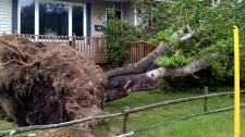 A tree lies toppled as Tropical Storm Leslie roars through St. John's, N.L., Tuesday, Sept. 11, 2012