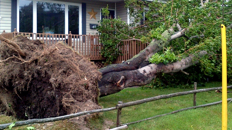 A tree lies toppled as Tropical Storm Leslie roars through St. John's, N.L., Tuesday, Sept. 11, 2012. (Todd Battis / CTV News)