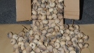 Boxes filled with opium poppy pods were seized in Delta, B.C., on Sept. 10, 2010. (handout)