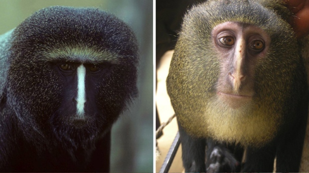 From left, a captive adult male Cercopithecus hamlyni and an adult male Cercopithecus lomamiensis.