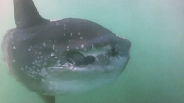 The mola mola, or ocean sunfish, was spotted and recorded earlier this week by a tour operator who runs whale watching trips out of St. Andrews, N.B.