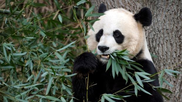 Giant Panda, U.S. National Zoo