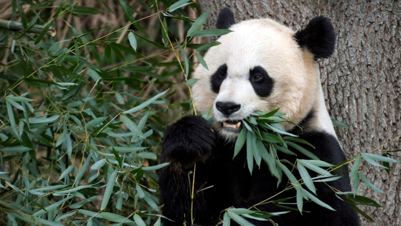 In this Dec. 19, 2011 file photo, Mei Xiang, the female giant panda at the Smithsonian's National Zoo in Washington, eats breakfast. (AP / Susan Walsh)