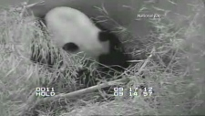 Panda Cam shows baby panda cub