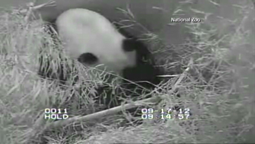 A 'Panda Cam' is showing the latest addition to a U.S. zoo after a female giant panda has given birth to a cub following five consecutive pseudopregnancies.
