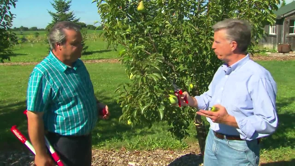 Gardening expert Mark Cullen shares tips on how to prune pear and apple trees on Canada AM, Sept. 19, 2012.