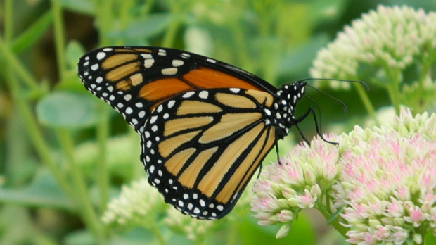 Viewer photos - Monarch Butterfly
