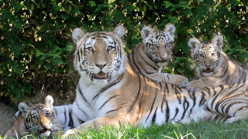 In this Aug. 30, 2012 photo provided by the Wildlife Conservation Society, Katharina, an Amur tiger, and her three new cubs recline in the shade at the Bronx Zoo's Tiger Mountain exhibit in New York. (AP Photo/WCS, Julie Larsen Maher)