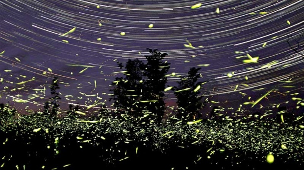 Are Fireflies Fading Away Forever CTV News - Fireflies map of us