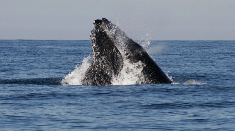 A humpback whale breaches in the waters of the Pacific Ocean onJan. 11, 2011. (AP / Christiann Davis)