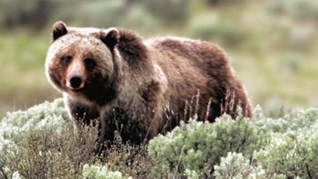 Grizzly Bear, FILE photo