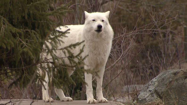 A pack of Canadian wolves responsible for killing American cattle has been culled. Sept. 28, 2012. (CTV)