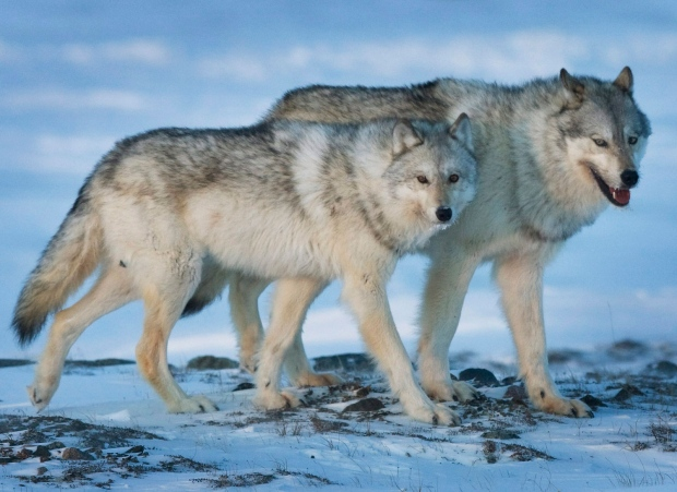 Wolf-culling policies need updating, Alberta conservationist says